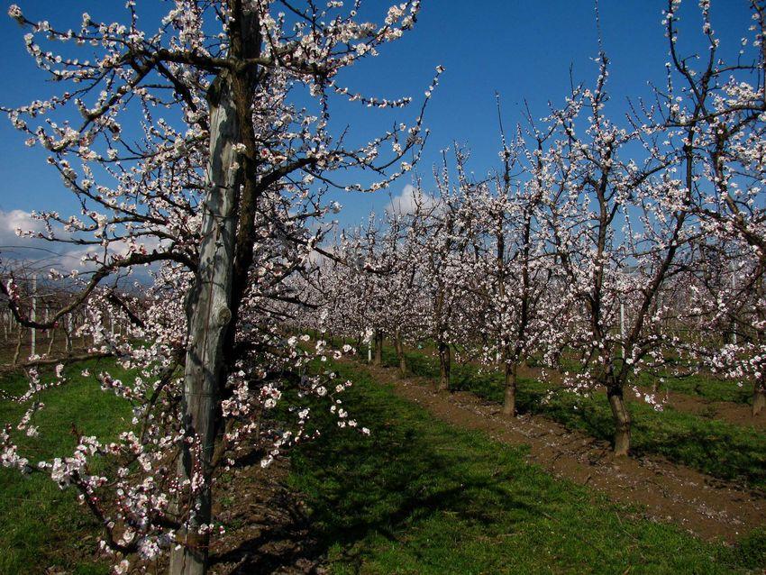 le cure invernali delle piante da frutto e delle piante
