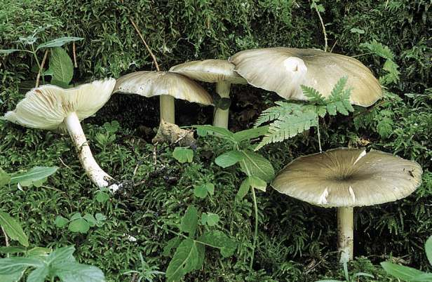 grande fungo Dicks